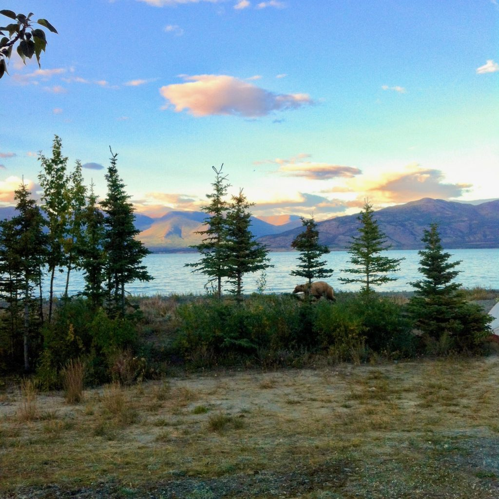 A grizzly bear taking an evening stroll around Lake Kluane (Yukon, Canada).